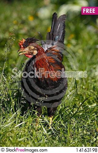 Free Chicken Royalty Free Stock Photos - 14163198