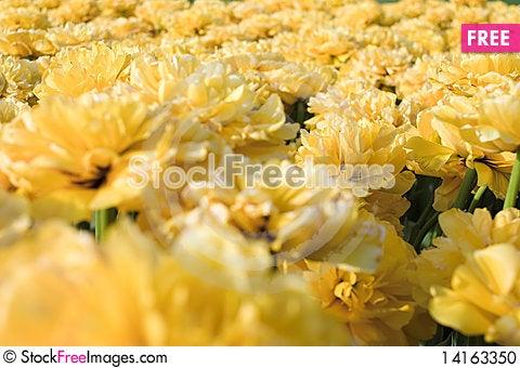 Free Yellow Tulips Stock Photo - 14163350