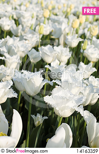 Free White Tulips Royalty Free Stock Images - 14163359