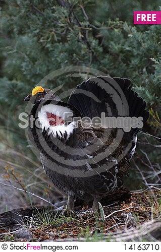 Free Blue Grouse 44 Stock Photo - 14163710
