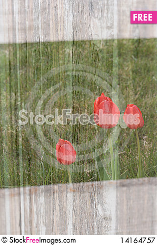 Free Tulip Background Royalty Free Stock Photography - 14164757