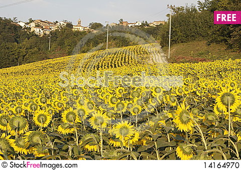 Free Sunflower With A Bee Stock Photo - 14164970