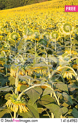 Free Sunflower With A Bee Stock Photos - 14164983