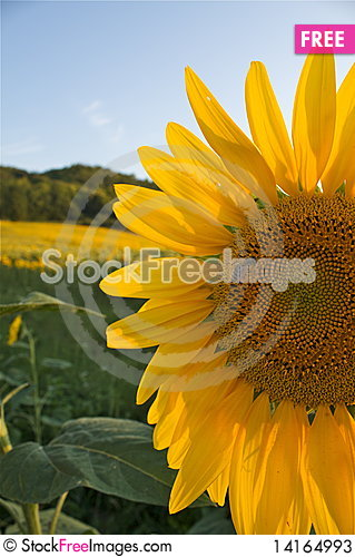 Free Sunflower With A Bee Stock Photos - 14164993