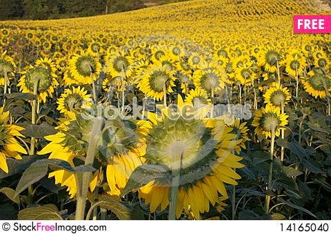 Free Sunflower Stock Photo - 14165040