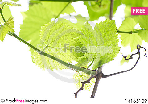 Free Fresh Grape Leaves Royalty Free Stock Images - 14165109