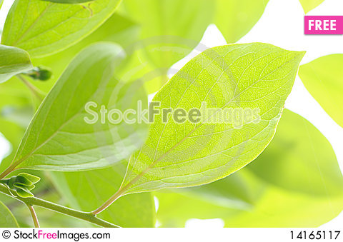 Free Green Fresh Leaves In Sunshine. Royalty Free Stock Photography - 14165117