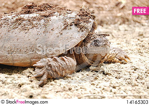 Free Turtle Coming Out Of Shell Stock Photos - 14165303
