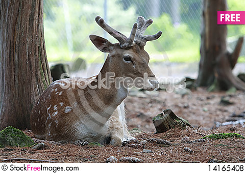 Free A Deer Relaxing In The Woods Royalty Free Stock Photos - 14165408
