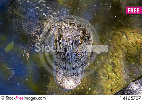 Free American Alligator Royalty Free Stock Photography - 14165707