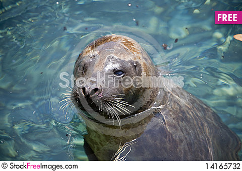 Free Seal Stock Photography - 14165732