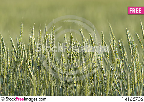Free Field Of Green Wheat Royalty Free Stock Image - 14165736