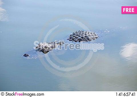 Free American Alligator II Stock Image - 14165741