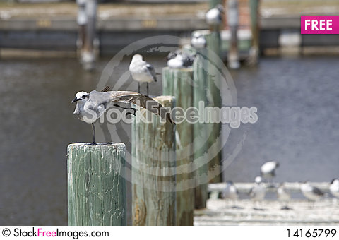 Free Dancing Gull Royalty Free Stock Images - 14165799