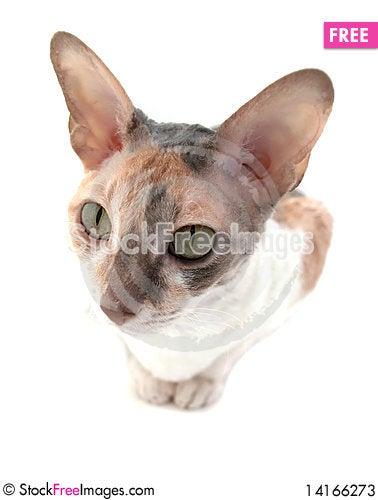 Free Attentive Cornish Rex Cat Stock Photos - 14166273