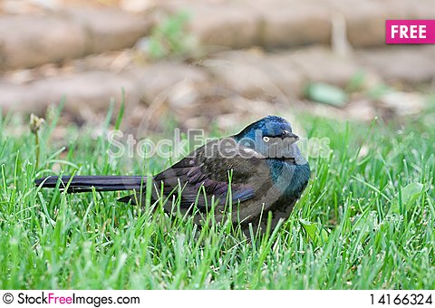 Free Common Grackle On The Lawn Stock Images - 14166324