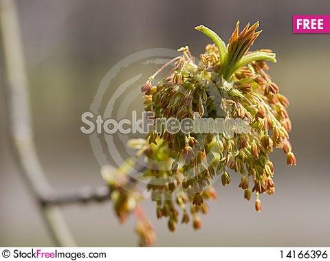 Free Maple Flower Royalty Free Stock Image - 14166396