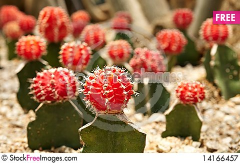 Free Cactus. Gymnocalycium Michanovichii Royalty Free Stock Photography - 14166457