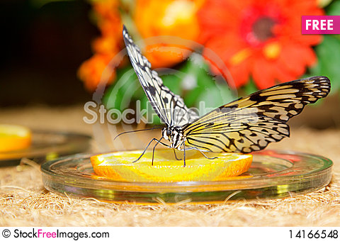 Free Butterfly Royalty Free Stock Photos - 14166548