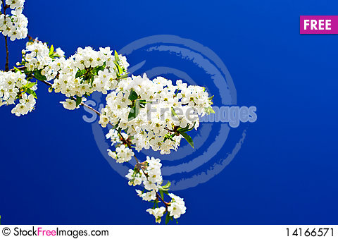 Free Beautiful,colorful Plum Tree Blossom. Stock Image - 14166571