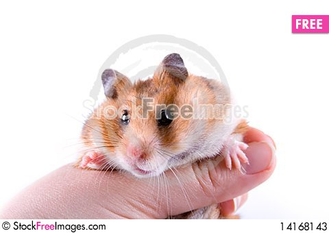 Free Hamster In Hand Stock Photos - 14168143