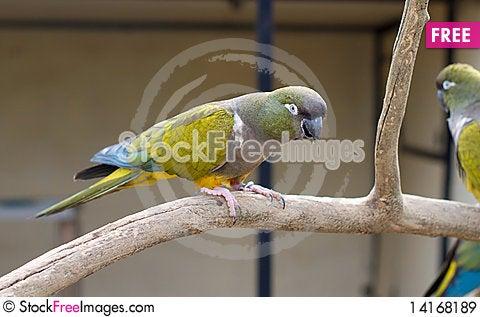 Free Rock Parakeet. Pyrrhura Rupicola Royalty Free Stock Images - 14168189