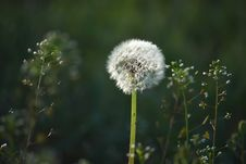 Free Dandelion Royalty Free Stock Photos - 14160068