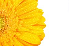 Yellow Gerbera With Drops Of Water Stock Photos