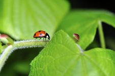 Free Red Lady Bird & Green Leaves Stock Photography - 14160252