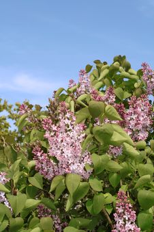 Free Lilac. Royalty Free Stock Images - 14161299