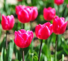 Free Tulips Royalty Free Stock Images - 14161379