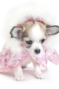 Cute Chihuahua Puppy Dressed In A Pink Jacket Royalty Free Stock Photography