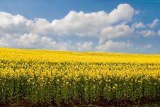 Free Canola Background. Royalty Free Stock Images - 14162199