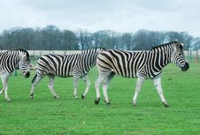 Free Zebras Royalty Free Stock Photography - 14162637