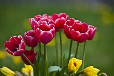 Free Red Tulips Royalty Free Stock Photos - 14163318