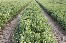 Free Farm Road Through Potato Field Stock Photography - 14163532