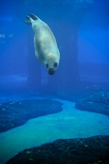 Seal Show At The Zoo. Royalty Free Stock Image