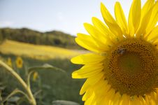 Free Sunflower With A Bee Royalty Free Stock Photo - 14165005