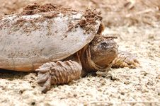 Turtle Coming Out Of Shell Stock Photos