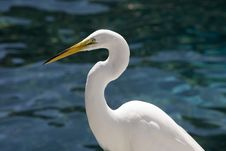 Free White Egret Royalty Free Stock Photo - 14165725