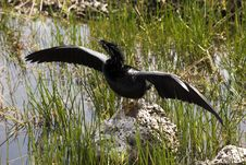 Free Anhinga White Bent Neck Royalty Free Stock Photography - 14165757