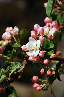 Free Pink Apple Blossoms Stock Photo - 14165810