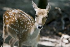 Free Curious White Tail Deer Royalty Free Stock Photo - 14165935