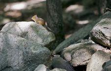 Free Lone Chipmunk Stock Image - 14165941