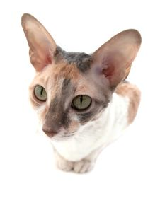 Free Attentive Cornish Rex Cat Stock Photos - 14166273