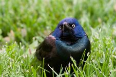 Common Grackle On The Lawn