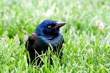 Common Grackle On The Lawn Royalty Free Stock Images