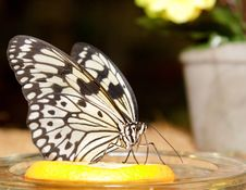 Free Butterfly Royalty Free Stock Photography - 14166527