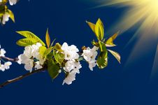 Fantastic Beams Above  Image Of Blooming Cherry. Royalty Free Stock Photography