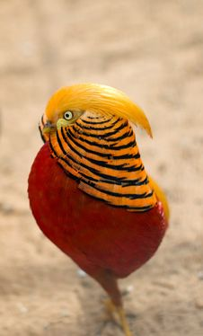 Golden Pheasant. Chinese Pheasant. Stock Photos